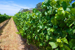Green Leaves of a Vineyard Royalty Free Stock Photography