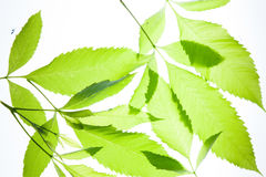 Green leaves vintage background Royalty Free Stock Photography
