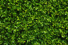 Green leaves wall Stock Photos