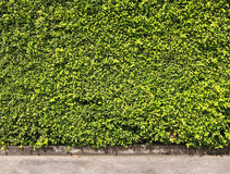 Green leaves wall Stock Photography