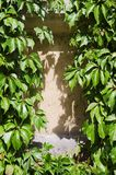 Green Leaves on a Wall. Leaves framing a Wall Under the Sunlight Stock Image