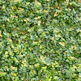 Green leaves wall Royalty Free Stock Photo
