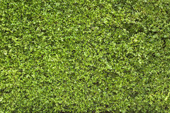 Green leaves wall as background Royalty Free Stock Image