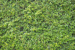Green leaves wall as background Royalty Free Stock Photo