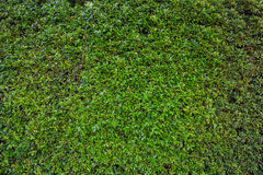 Green leaves wall and asphalt road Royalty Free Stock Images
