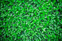 Green leaves wall background Stock Photography