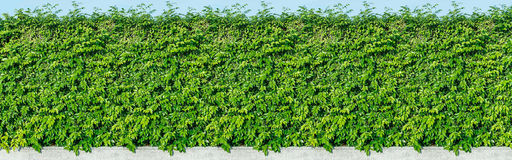 Green leaves wall background. The green leaves wall background stock photography