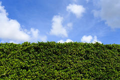 Green leaves wall background with clear sky Stock Photos