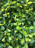 Green leaves wall background Royalty Free Stock Photo