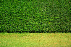 Green leaves wall background on green grass field. Stock Image
