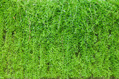 Green leaves wall background. Image Royalty Free Stock Photos