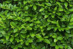 Green leaves wall background Stock Photos