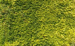 Green leaves wall. Background in summer time Stock Images