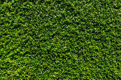 Green leaves wall background Royalty Free Stock Photography