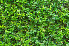 Green leaves wall background Royalty Free Stock Images