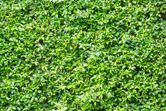 Green leaves  wall  background - texture. Stock Photography