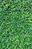 Green leaves wall background Royalty Free Stock Image
