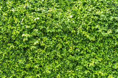 Green leaves on the wall background texture Royalty Free Stock Images