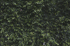 Green  leaves wall. Green leaves wall background texture with shade shadow and Lighting Royalty Free Stock Images