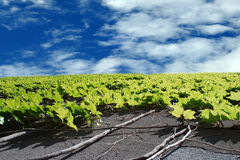 Green leaves on the wall with the blue sky. Green leaves and vines climbing up on the concreat wall with cloudy blue sky background Stock Images