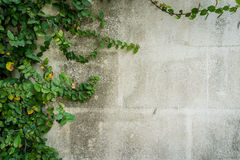 Green leaves on wall with copy space Stock Photo