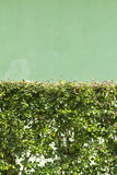 Green leaves wall. In front of green cement wall Royalty Free Stock Photos