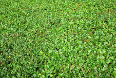 Green leaves wall paper background Royalty Free Stock Photos