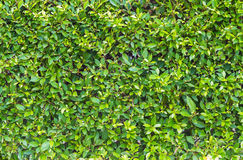 Green leaves wall patten Stock Photography