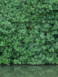 Green leaves wall and real reflect in the weter Royalty Free Stock Images