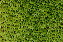 Green leaves. On the wall in spring Royalty Free Stock Photography
