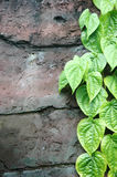 Green leaves on the wall. Strands of green leaves on the wall Stock Photos