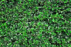 Green leaves wall texture or backdrop of tree fence. royalty free stock image