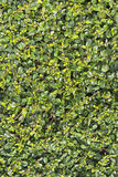 Green leaves wall for texture background. Leaves of Fukien Tea tree, scorpionbush tree, ehretiaceae, philippine tea tree stock photos