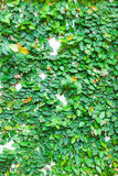 Green leaves on wall texture background Stock Photo