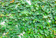 Green leaves on wall texture background Royalty Free Stock Images