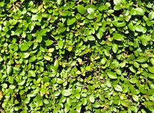 Green leaves Wall Texture Stock Image