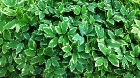Green leaves wall. Stock Photos
