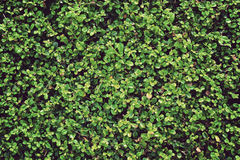 Green leaves wall vintage background Stock Photos
