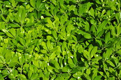 Green leaves wallpaper, background royalty free stock photos