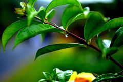 Green Leaves Wards Lake Greenery Morning. Green leaves Droplet of water Stock Photography