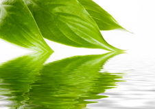 Green leaves  in water Royalty Free Stock Photos