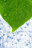 Green leaves in water. Royalty Free Stock Image