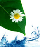 Green leaves in water. Stock Image