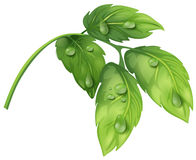 Green leaves with water dews Stock Images