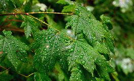 Green leaves and water droplets after rainfall Stock Images
