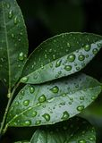 Green Leaves With Water Drops Stock Image