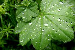 Green leaves with water drops. Close up of green leaves with water drops Stock Photography