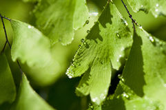 Green leaves with water drops Royalty Free Stock Image