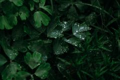 Green Leaves With Water Drops Photo Stock Photos
