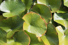 Green leaves of water lily Stock Photos